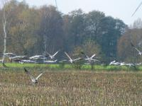 Cranes are gathering during autumn