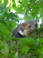 A marten sits in one of our yard oaks
