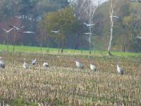 Kraniche sammeln sich im Herbst